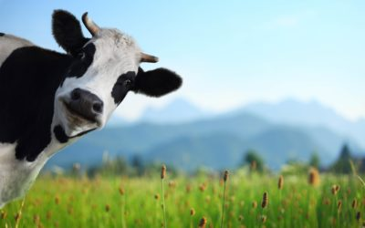 Love the Cow